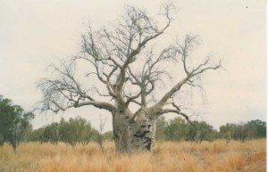 3 Baobab Tree N.T.